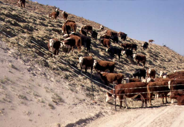 Cows on Tailings.2