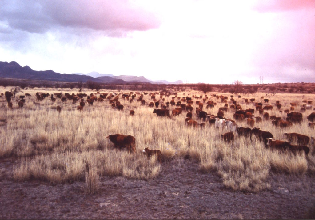Jelks Cattle Herd